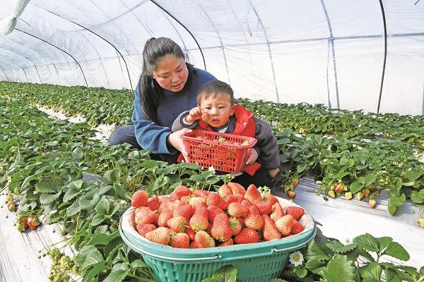 1-大圩草莓上市.JPG